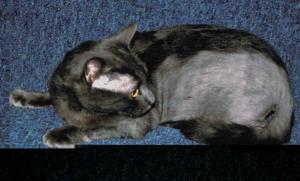 лечение облысения у кошек