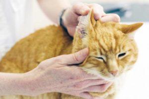 Основными симптомами отодектоза у кошек являются следующие: