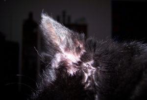 лечение отодектоза у кошек