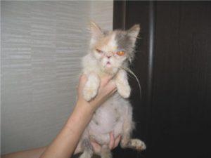 Симптомы и лечение панлейкопении у кошек