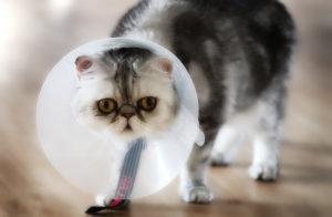 лечение пиометры у кошек