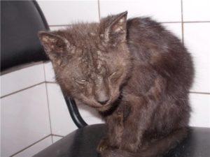 Симптомы и лечение вируса иммунодефицита у кошек