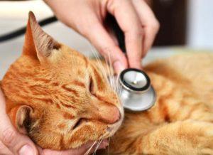Симптомы и лечение вирусного лейкоза у кошек