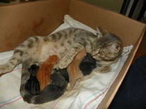 Как проходит беременность у кошек