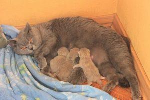 Первые кошачьи роды: сколько котят может появиться