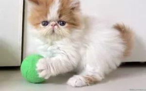 Сколько лет живут персидские кошки