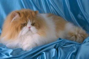 Сколько лет живут персидские кошки в домашних условиях