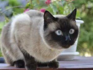 О породе сиамских котов
