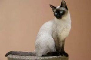 Сколько лет живут сиамские кошки