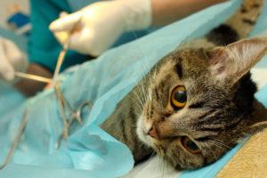 Стерилизация кошек различных пород