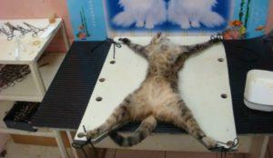 В каком возрасте, по мнению ветеринаров, можно стерилизовать кошку