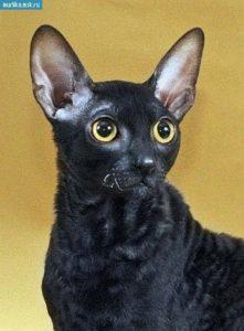 характер породы кошек девон-рекс