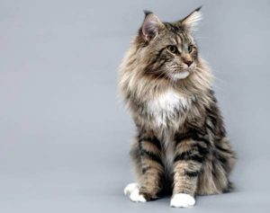 Какая самая крупная порода кошек