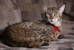 крупная порода кошек