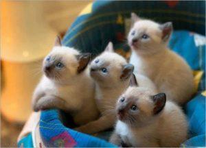 самая маленькая кошка в мире
