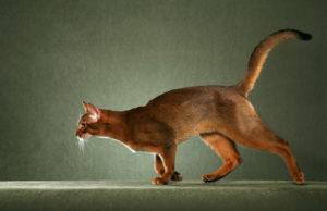 Какая существует самая быстрая кошка в мире
