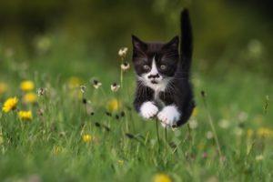 Какая домашняя порода кошек самая быстрая