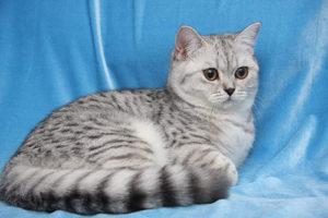 Какие самые популярные породы кошек в мире