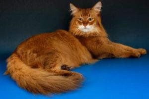 характер сомалийской кошки