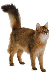 Немного о характере сомалийских кошек