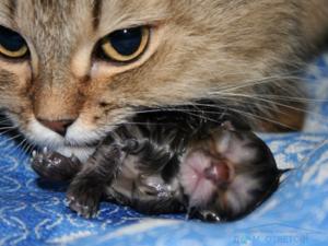 «Правильные» выделения и уход за кошкой после родов