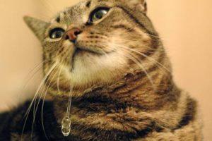 у кошки текут слюни изо рта