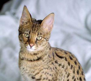 Почему у кошки темная моча и какие причины (1)