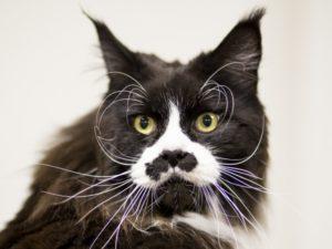 Почему у кошки выпадают усы и что это значит