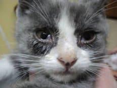 лечение ринотрахеита у кошек