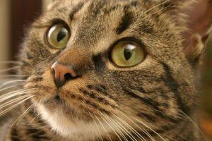 стоматита у кошек