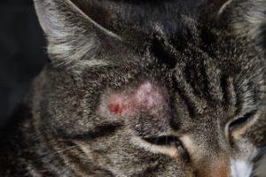Симптомы и лечение стригущего лишая у кошек
