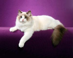 Какие есть самые ласковые и добрые породы кошек