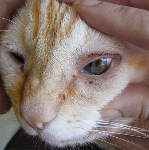 Что делать и как лечить, если у кошки гноятся глаза