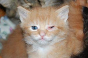 Породы кошек склонные к заболеваниям органов зрения