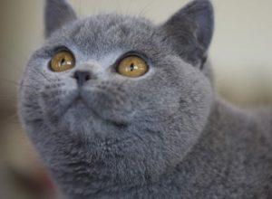 Характер и описание шотландской короткошерстной кошки