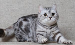 описание шотландской короткошерстной кошки