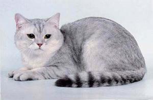 Характер шотландской короткошерстной кошки