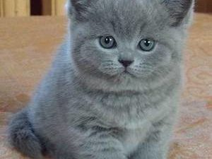 клички для котов и кошек британцев