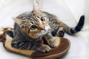 Как и чем можно вывести запах кошачьей мочи с обуви
