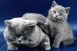 Какой характер, повадки и поведение британских кошек (1)