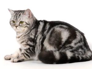 поведение британских кошек