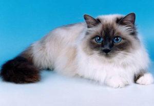 Описание и характер бирманской породы кошек