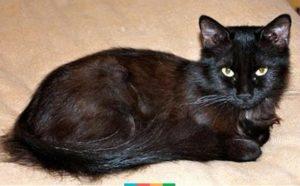 Описание и характер йоркской шоколадной кошки