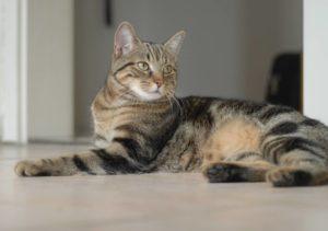 Описание и характер калифорнийской сияющей кошки