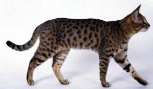 характер калифорнийской сияющей кошки
