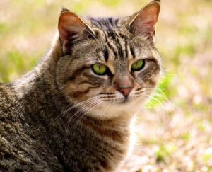 калифорнийская сияющея кошка