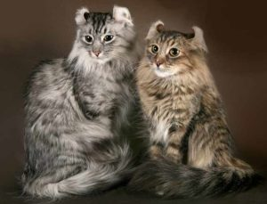 Описание и характер кошки американский керл