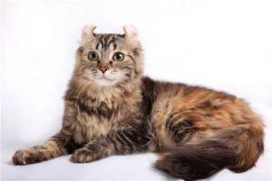 характер кошки американский керл