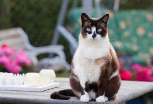 Описание и характер кошки сноу-шу