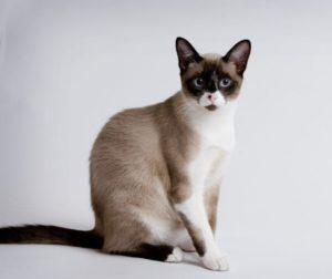характер кошки сноу-шу